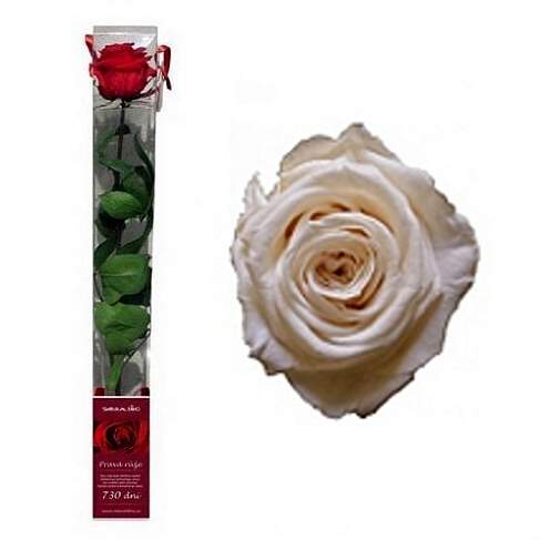 Růže na 730 dní